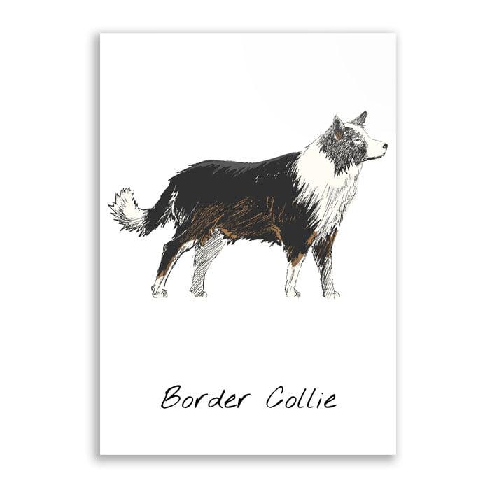 Quadro Border collie